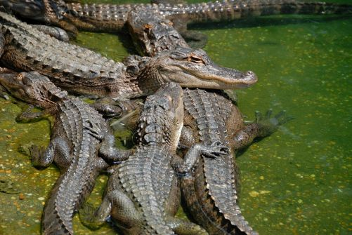 What Is A Group Of Alligators Called?