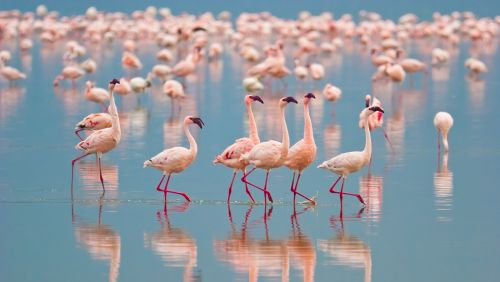 What Is A Group Of Flamingoes Called?